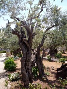 Uralter Olivenbaum im Garten Gethsemane